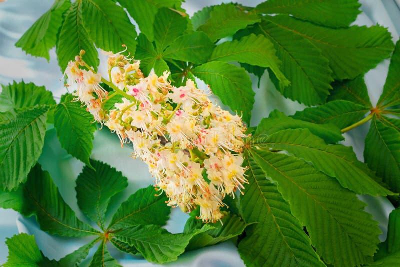 Fiore della castagna con le foglie verdi fotografia stock libera da diritti
