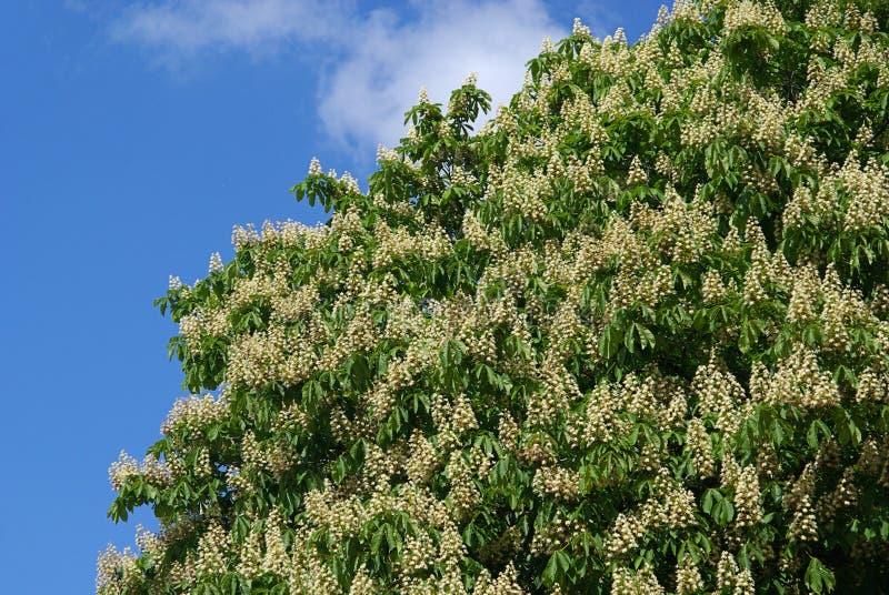 Fiore della castagna d'India fotografie stock