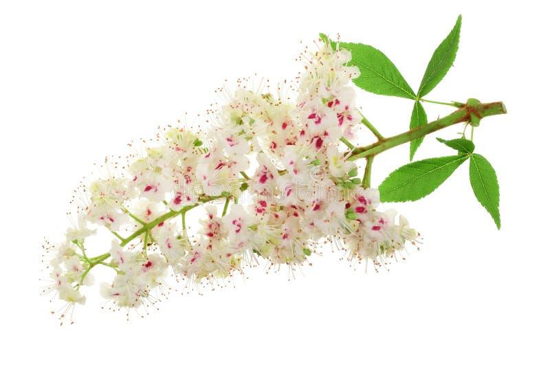 Fiore della castagna o aesculus hippocastanum, albero del Conker con le foglie isolate su fondo bianco fotografie stock