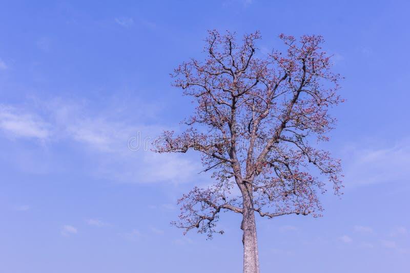 Fiore della ceiba del Bombax con il cielo di bellezza fotografie stock