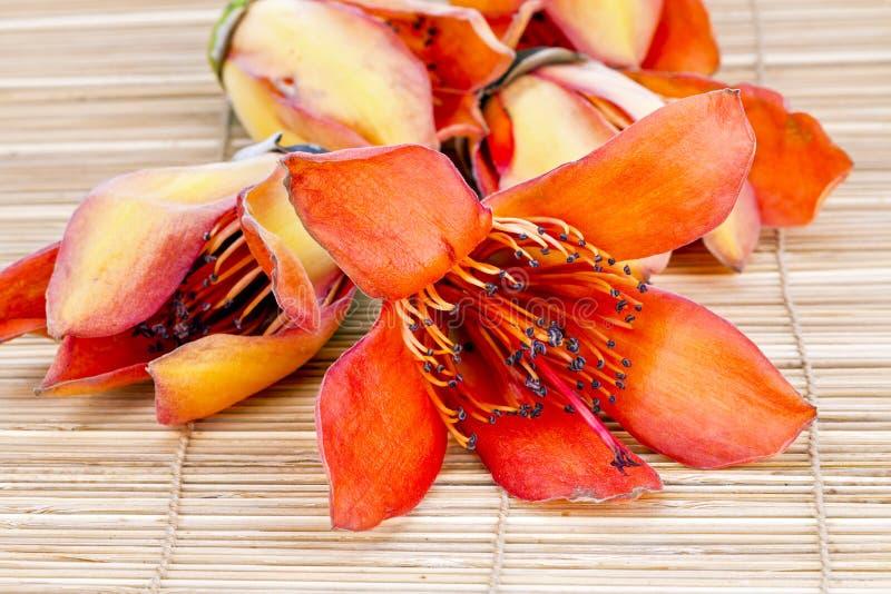Fiore della CEIBA LINN del BOMBAX fresca - prepari per il androeciu di secchezza fotografia stock