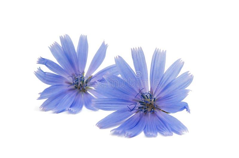 Fiore della cicoria fotografie stock libere da diritti