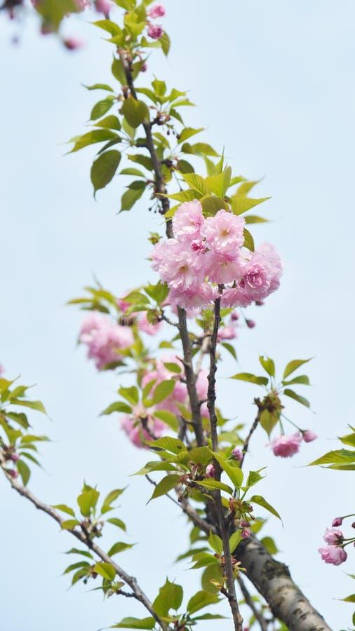 Fiore della ciliegia con il fondo del cielo fotografia stock