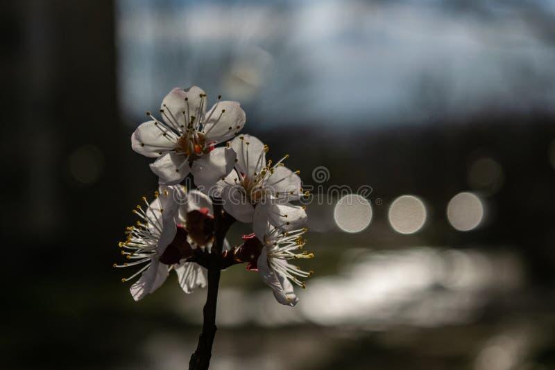 Fiore della ciliegia nella bellezza completa fotografia stock libera da diritti