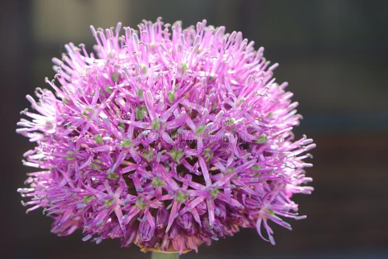 Fiore della cipolla di estate sotto il sole fotografia stock