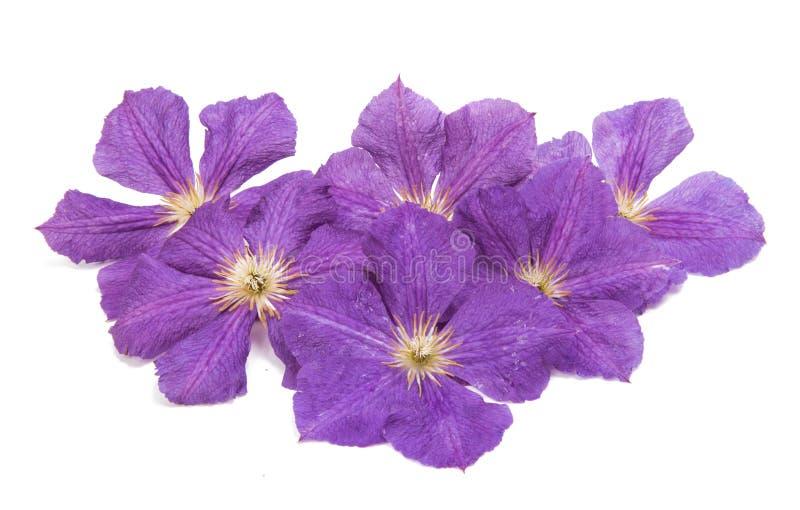 Fiore della clematide di lavanda fotografie stock