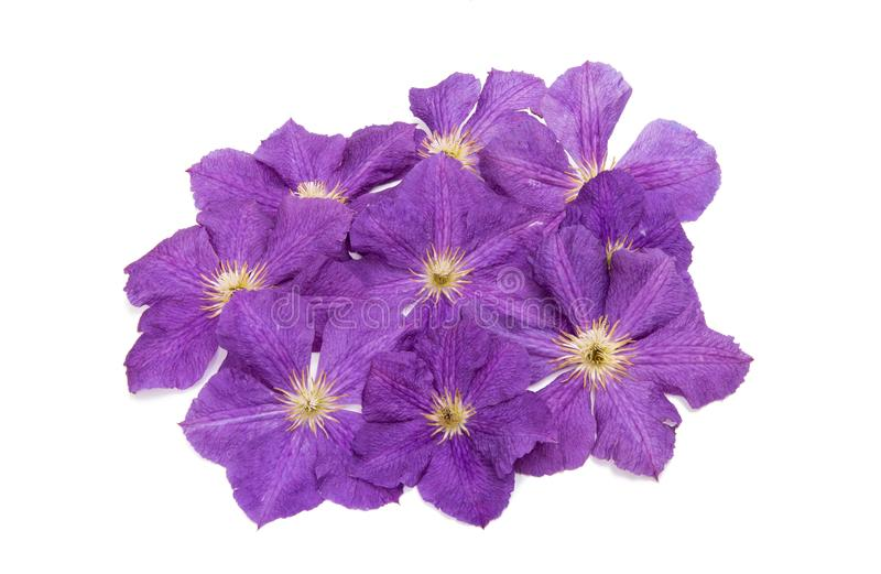 Fiore della clematide di lavanda immagine stock