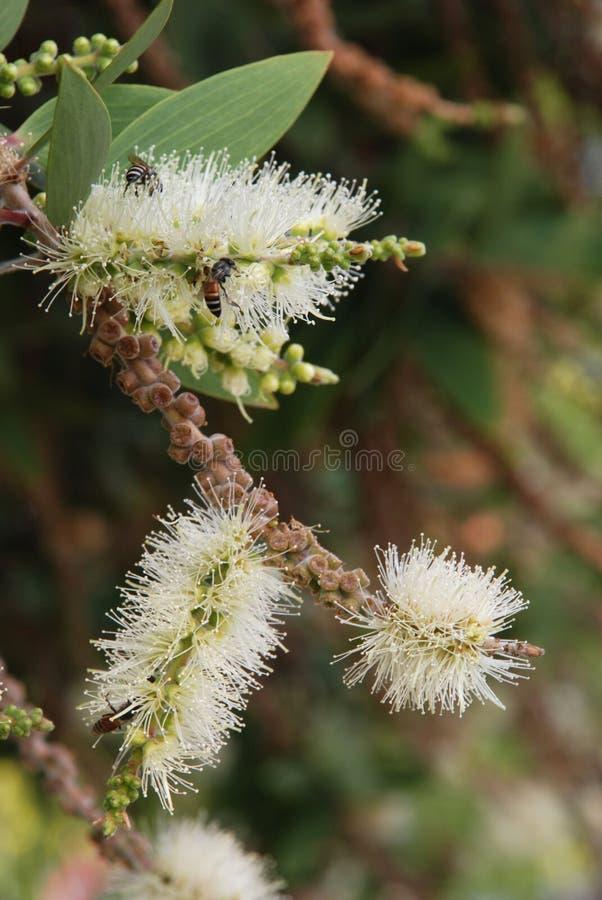 Fiore della corteccia della carta del caieput fotografia stock libera da diritti