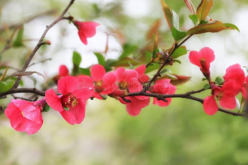 Download Fiore della cotogna fotografia stock. Immagine di luminoso - 117980552