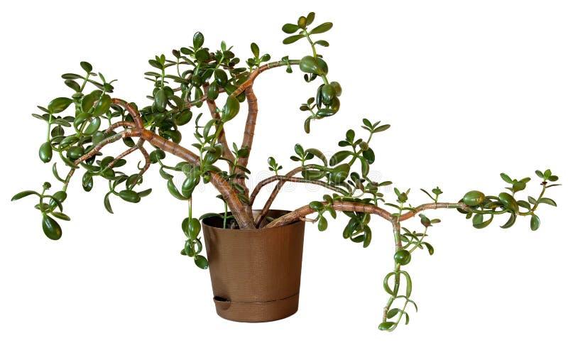 Fiore della crassula dell'albero dei soldi in un vaso marrone isolato su bianco fotografia stock
