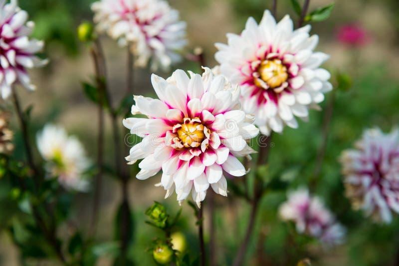 Fiore della dalia su sfondo naturale vago Fiori della dalia in giardino verde Fiori sboccianti con bianco e porpora fotografia stock