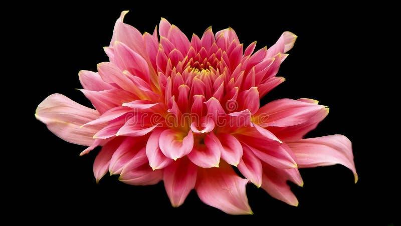 Fiore della dalia sul nero fotografia stock libera da diritti