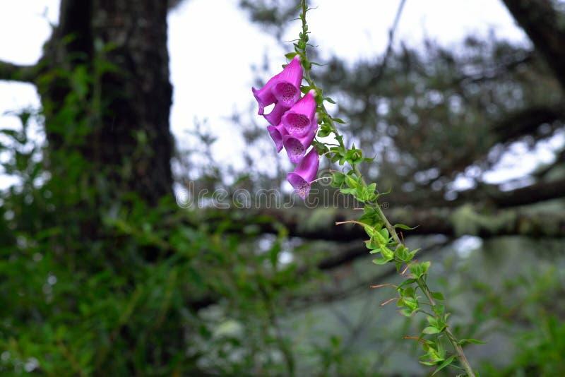 Fiore della digitale fotografia stock