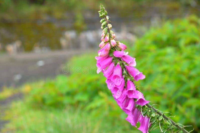 Fiore della digitale immagini stock