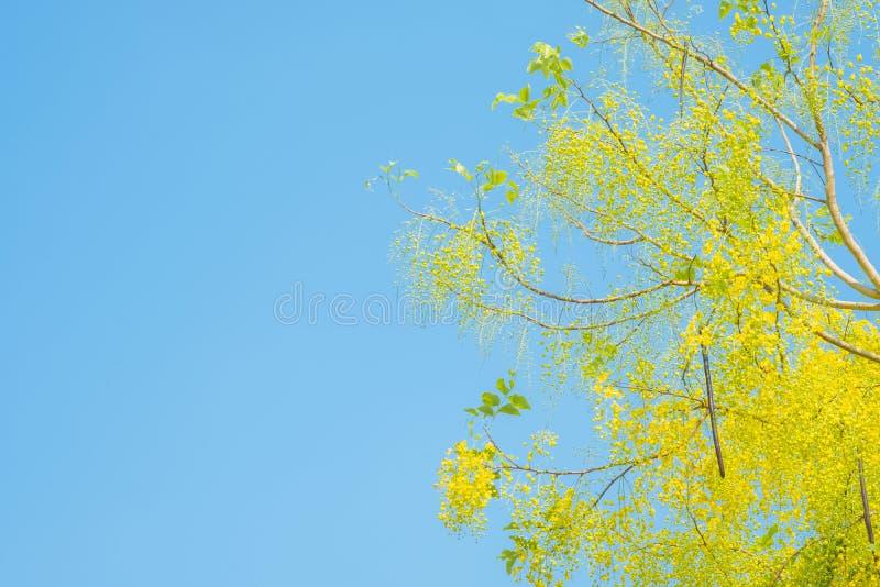 Fiore della doccia dorata o del cassia fistula su cielo blu in Thailan immagini stock