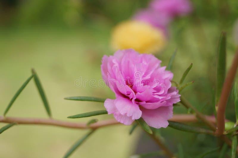 Fiore della fioritura e del Purslane fotografia stock libera da diritti