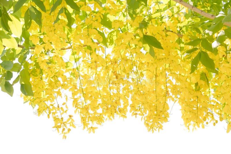 Fiore della fistola dorata di treeCassia della doccia immagine stock libera da diritti