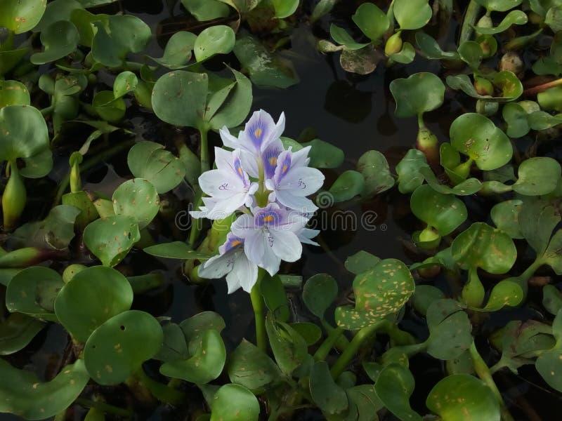 Fiore della flauto nello stagno fotografia stock libera da diritti