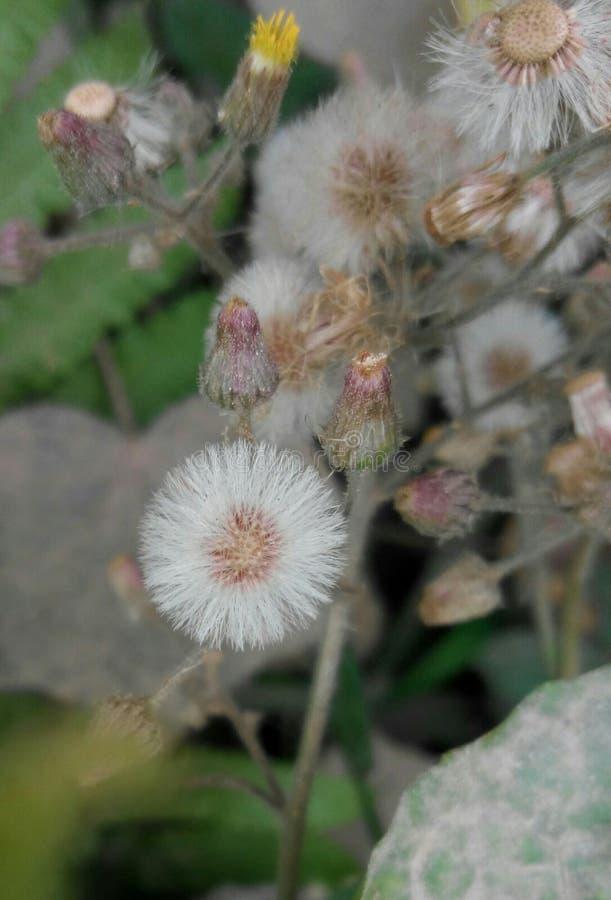 fiore della foresta & x28; bonolota& x29; immagine stock libera da diritti