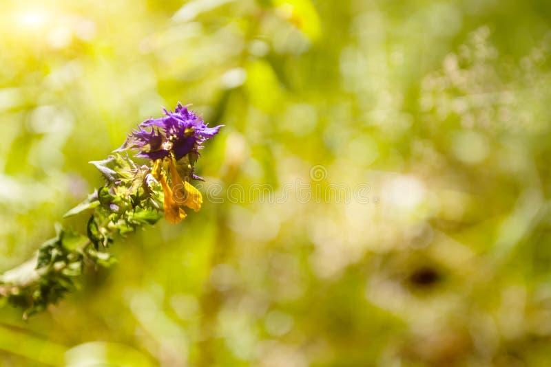 Fiore della foresta in un primo piano della radura della foresta fotografia stock libera da diritti