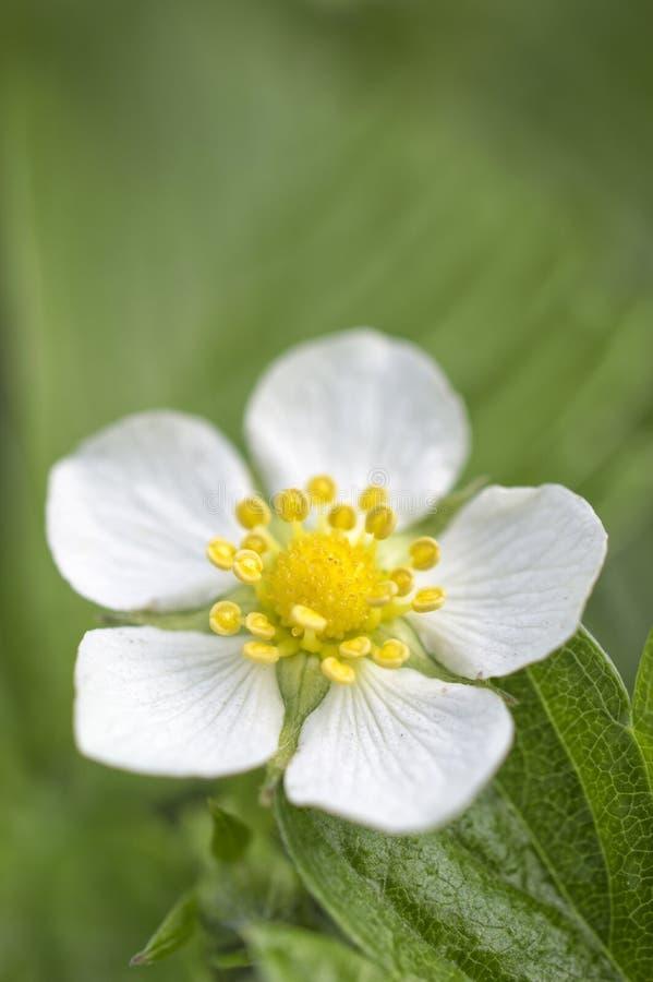 Fiore della fragola di bosco immagine stock libera da diritti