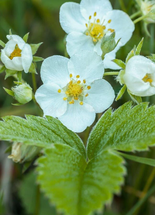Fiore della fragola di bosco fotografie stock libere da diritti