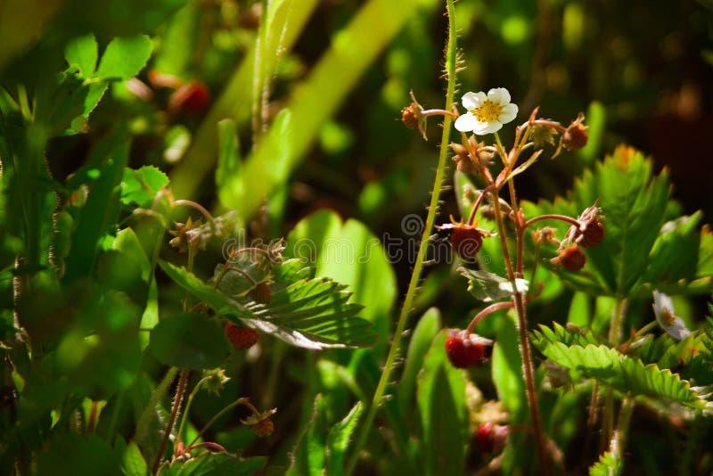 Fiore della fragola di bosco fotografia stock libera da diritti