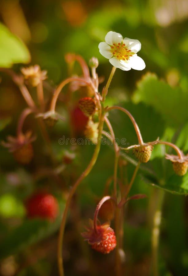 Fiore della fragola di bosco fotografia stock