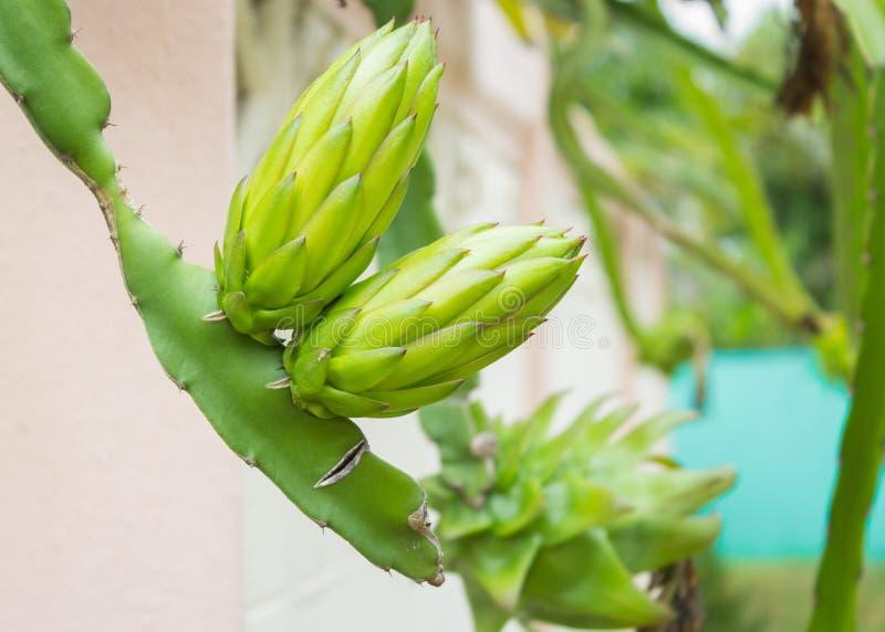 Fiore della frutta del drago verde fotografia stock libera da diritti