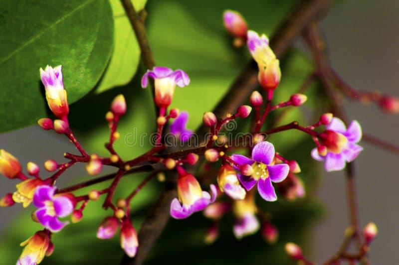 Fiore della frutta di stella fotografie stock libere da diritti