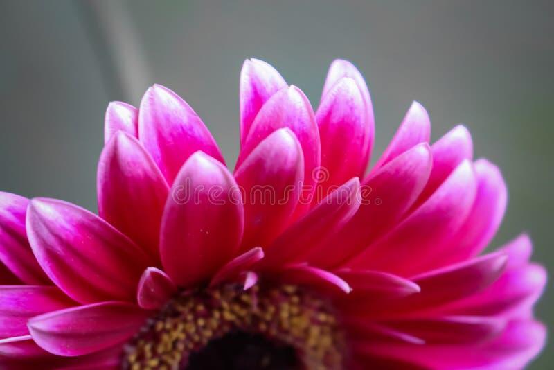 Fiore della gerbera bello e fondo viola di goccia del fiore immagine stock