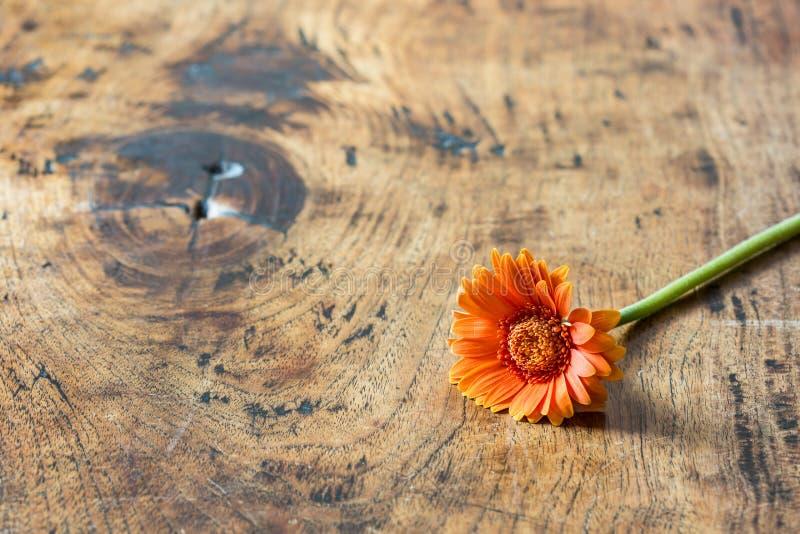 Fiore della gerbera che si trova su una superficie di legno fotografia stock
