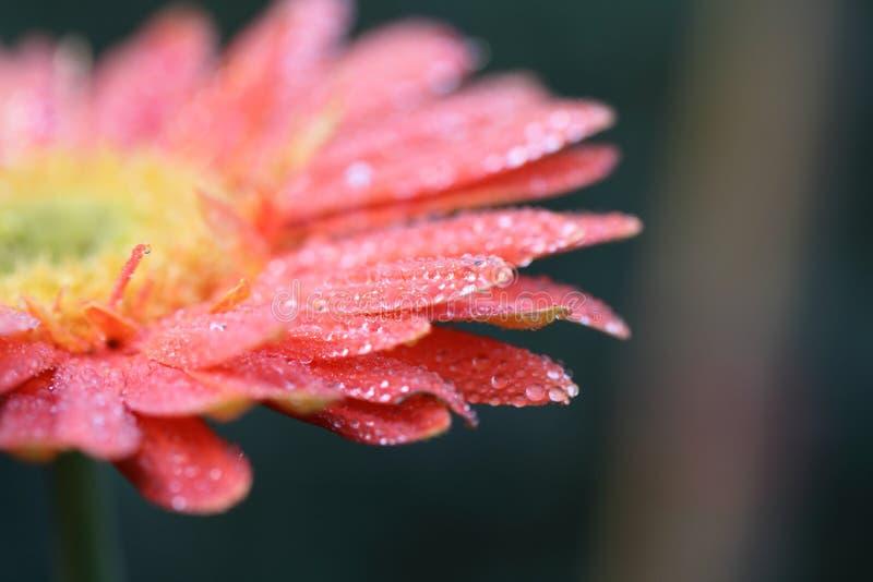 Fiore della gerbera con la goccia di pioggia immagini stock libere da diritti