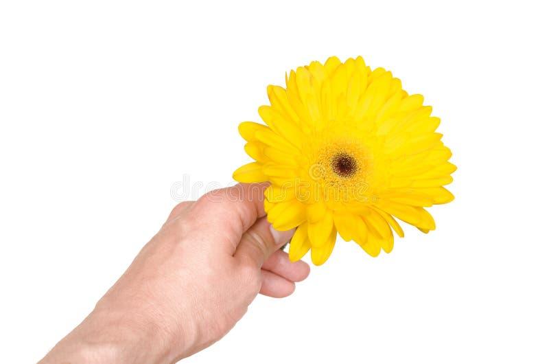 Fiore della gerbera in mano maschio immagini stock libere da diritti