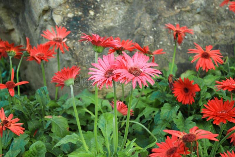 Fiore della gerbera nel giardino della natura fotografia stock