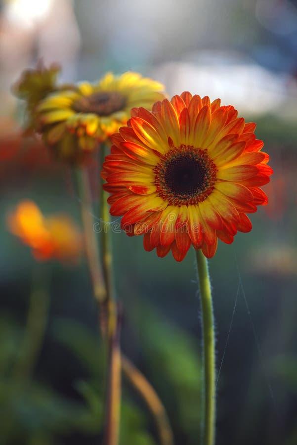 fiore della gerbera sulla natura verde fotografie stock libere da diritti