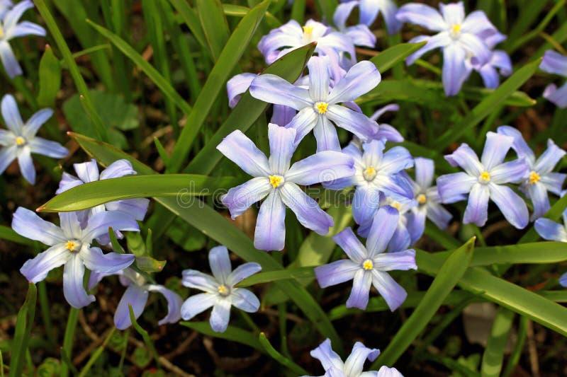 Fiore della gloria-de--neve gloria-de--neve del ` s o del ` più bossier s di Lucile fotografie stock