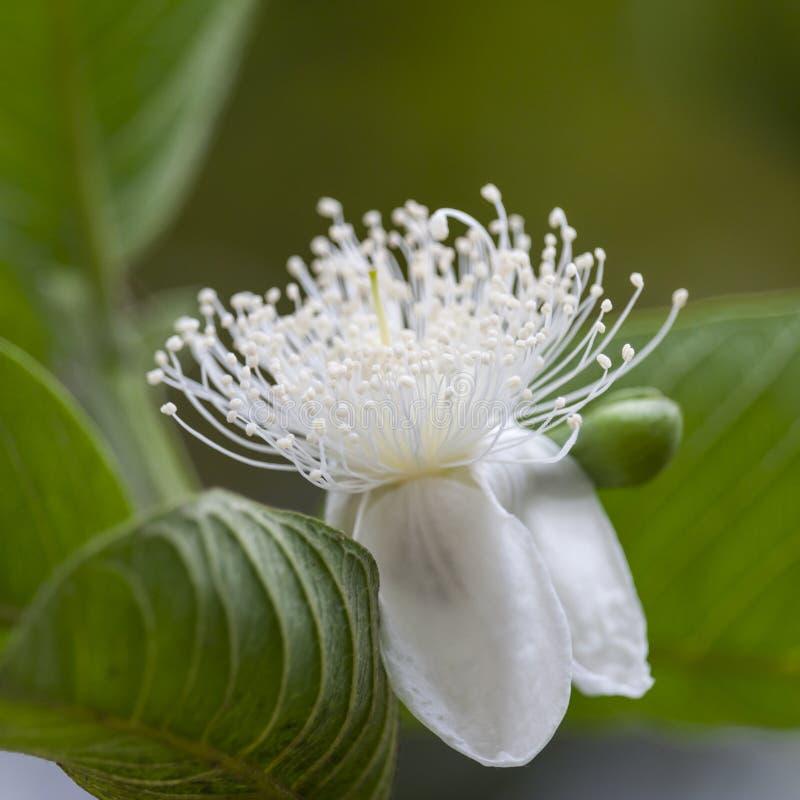 Fiore della guaiava nell'albero fotografia stock libera da diritti