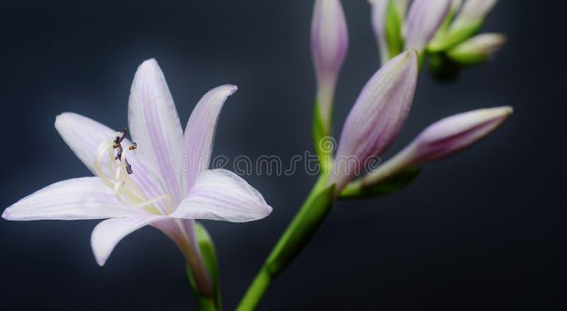 Fiore della hosta su un fondo scuro