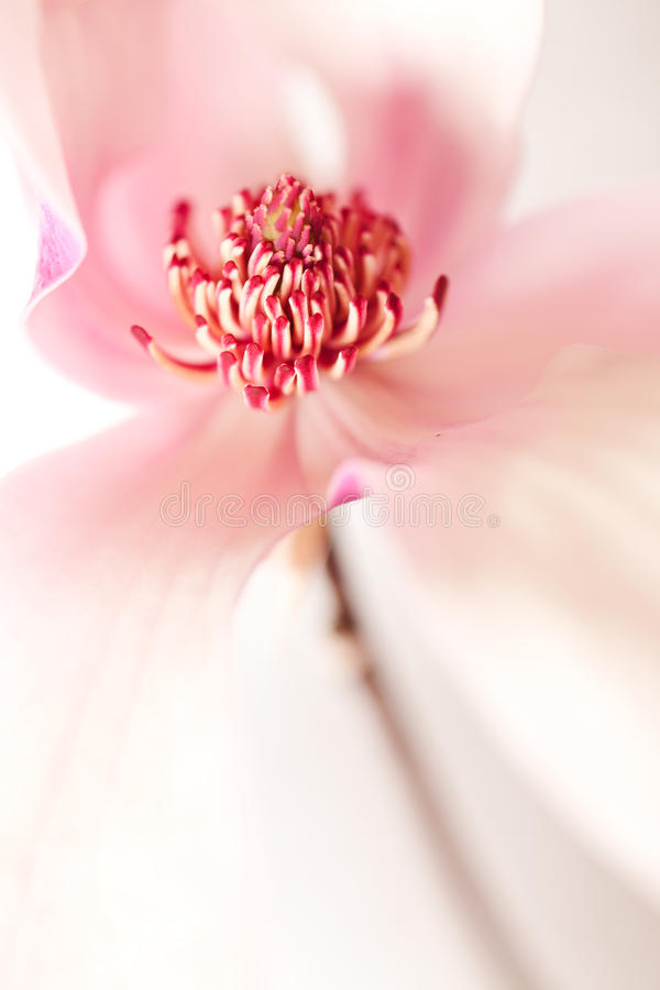 Fiore della Jane della magnolia fotografie stock libere da diritti