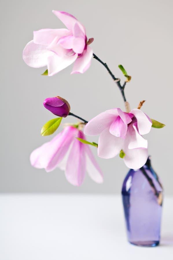 Fiore della Jane della magnolia immagini stock libere da diritti