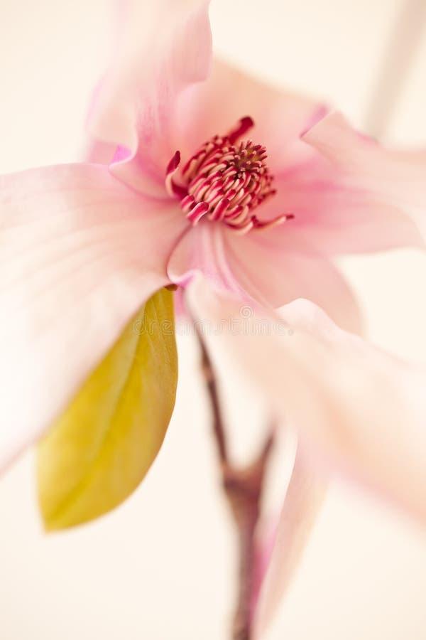 Fiore della Jane della magnolia immagine stock