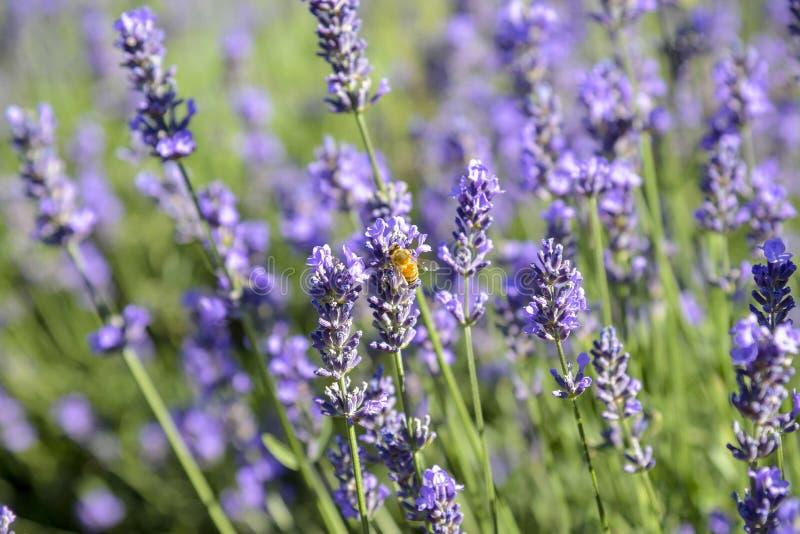 Fiore della lavanda con un'ape immagini stock libere da diritti