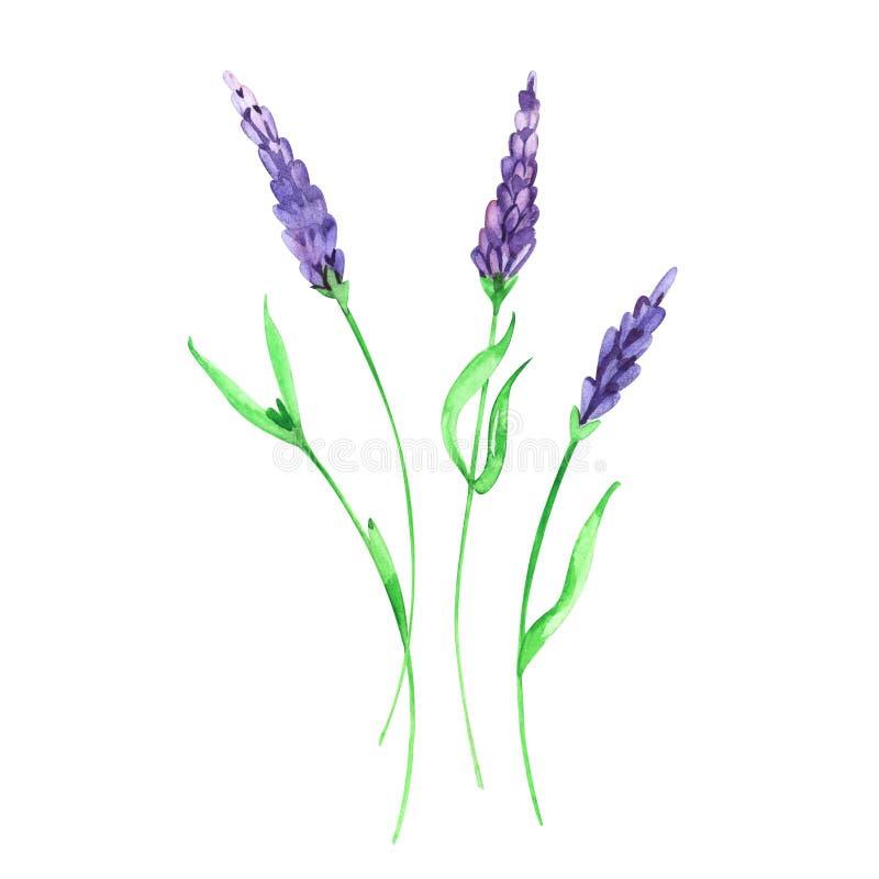 Fiore della lavanda del Wildflower in uno stile dell'acquerello isolato Nome completo della pianta: lavanda Fiore selvaggio dell' illustrazione vettoriale