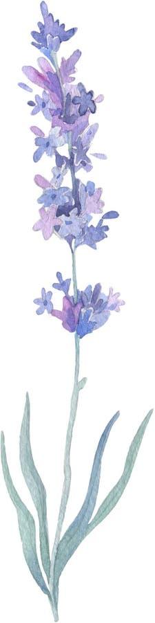 Fiore della lavanda del Wildflower in uno stile dell'acquerello isolato Nome completo della pianta: lavanda Fiore selvaggio dell' illustrazione di stock