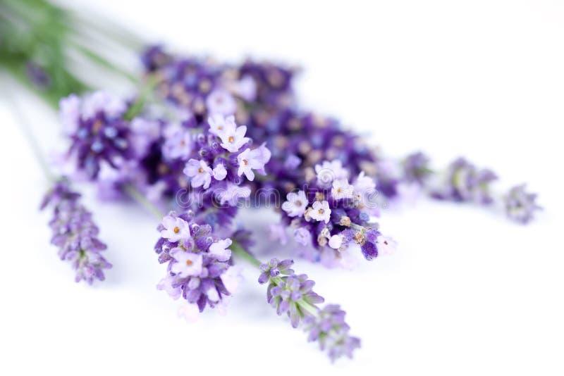 Fiore della lavanda isolato su bianco fotografia stock