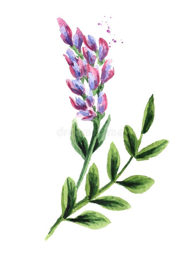 Fiore della liquirizia Erbe e piante mediche Illustrazione disegnata a mano dell'acquerello isolata su fondo bianco royalty illustrazione gratis