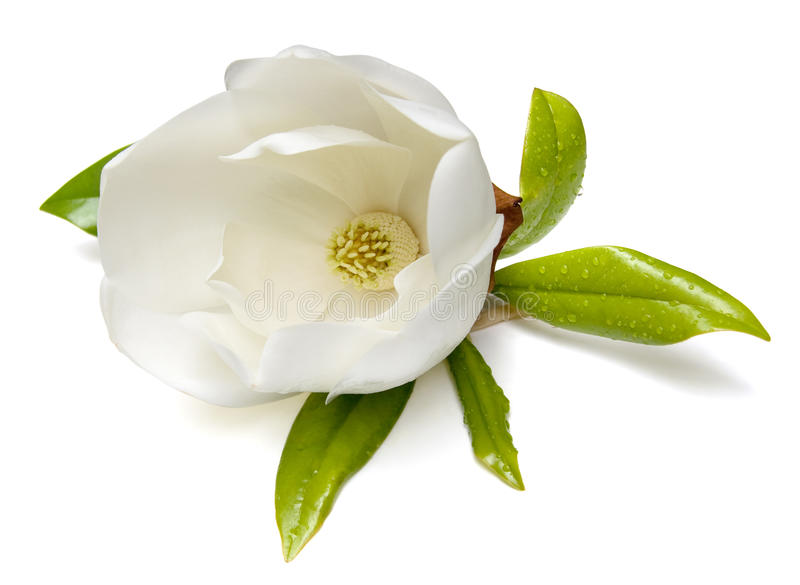 Fiore della magnolia immagine stock