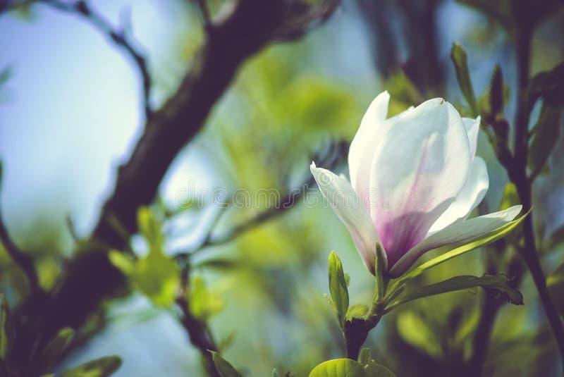 Fiore della magnolia immagini stock