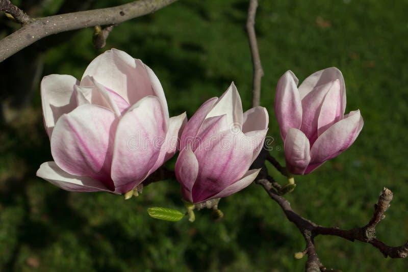 Fiore della magnolia di mezzogiorno immagine stock libera da diritti